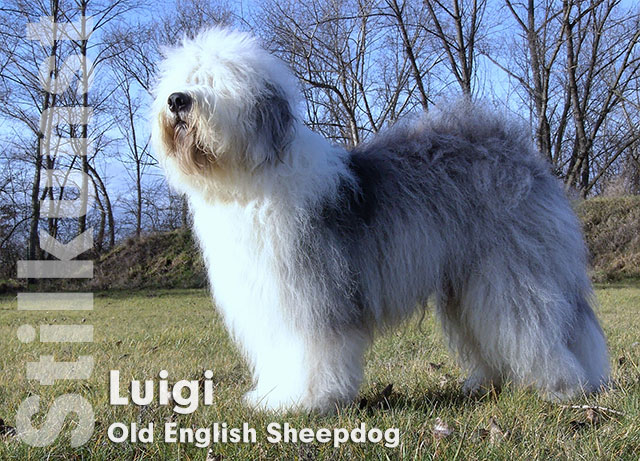 Luigi - Old English Sheepdog