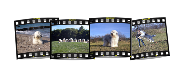 Luigi, Old English Sheepdog, Bobtail