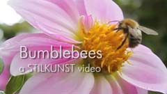 Video Bumblebees